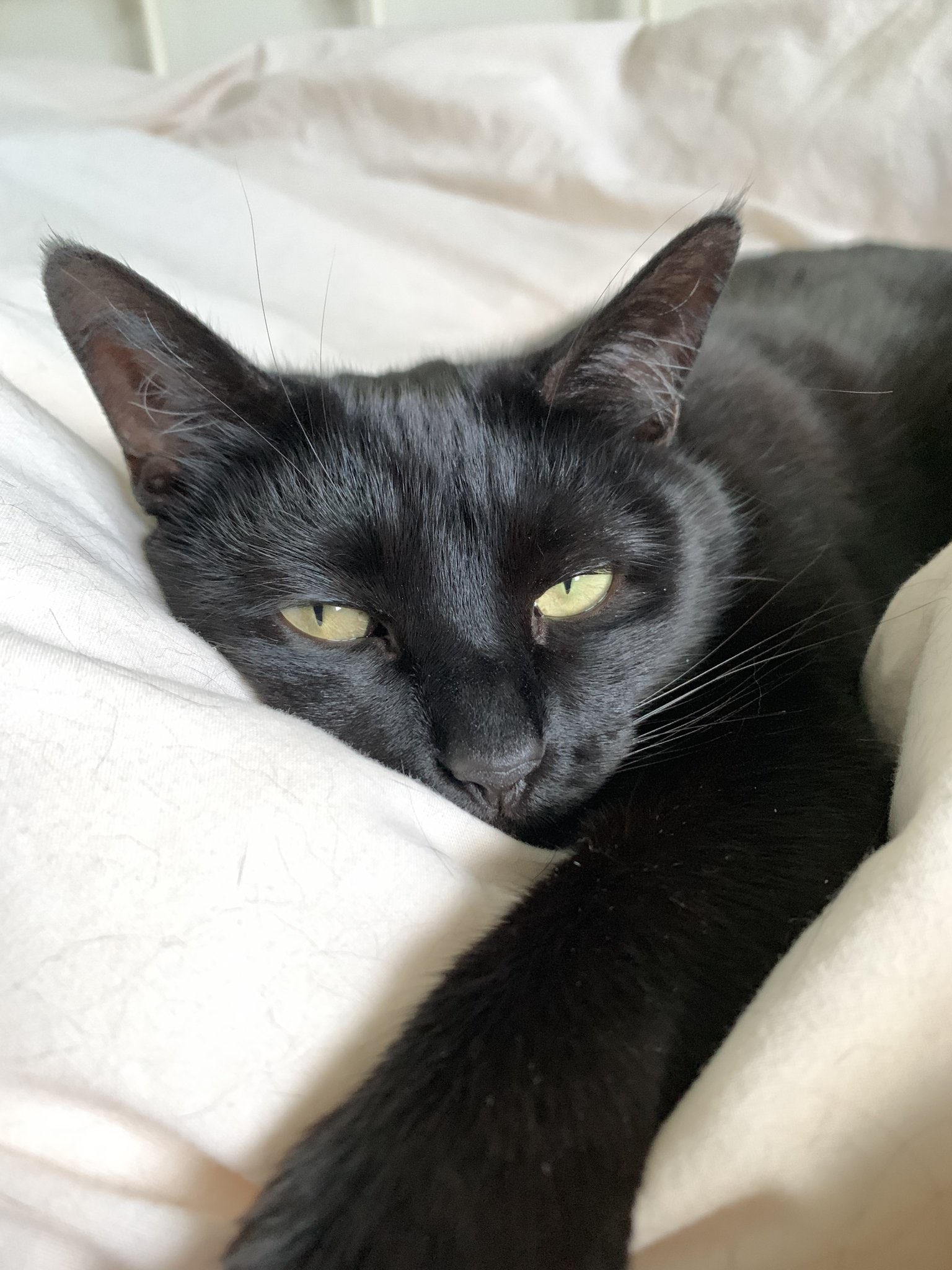 A black cat very snuggled up on a cream blanked