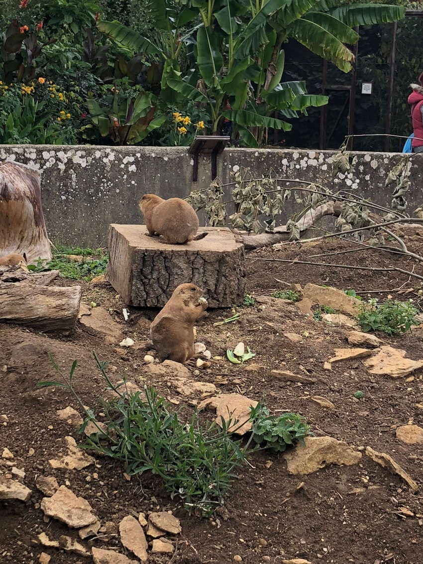 A Prairie Dog eating a snack while his pals just hang around