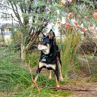 A Kelpie X dog in some long grass