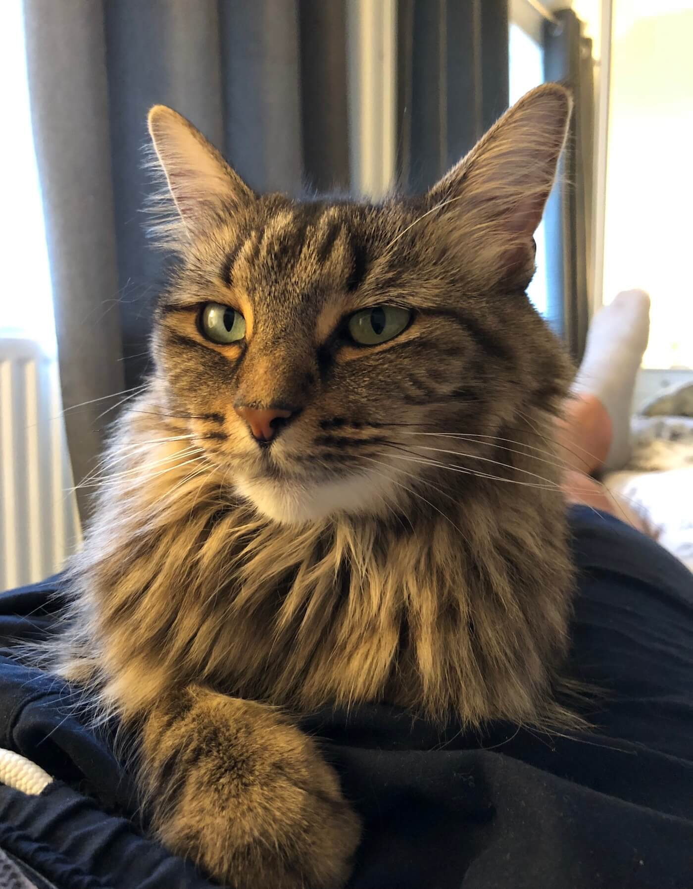 Delilah, a stripey, fluffy cat, sat on my lap looking majestic