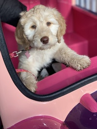 A double doodle sits in a pink pet carrier