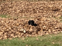 A black lab in a bunch of leaves