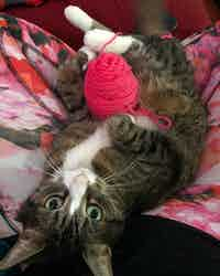 A stripey cat plays with some red yarn while looking at the camera