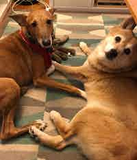 A Portugese Podengo Grande and a Shiba Inu dog, hanging out together
