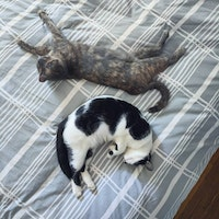 Two cats lie on a bed together. Once cat looks like a crescent moon