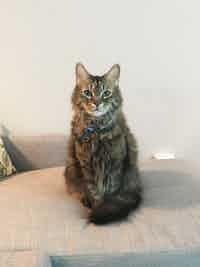 A Maine Coon cat sits on a couch