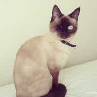 A one-eyed Siamese cat sits on a couch